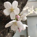 桜がきれいです