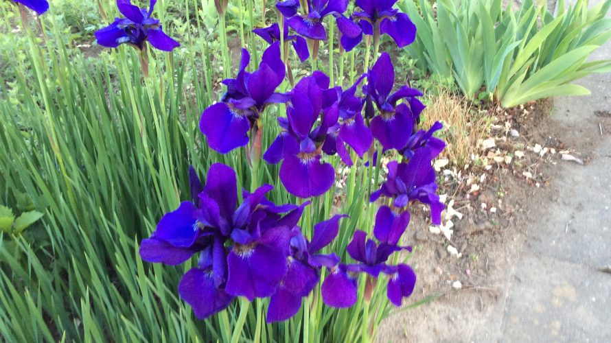 町田ん先生から・紫