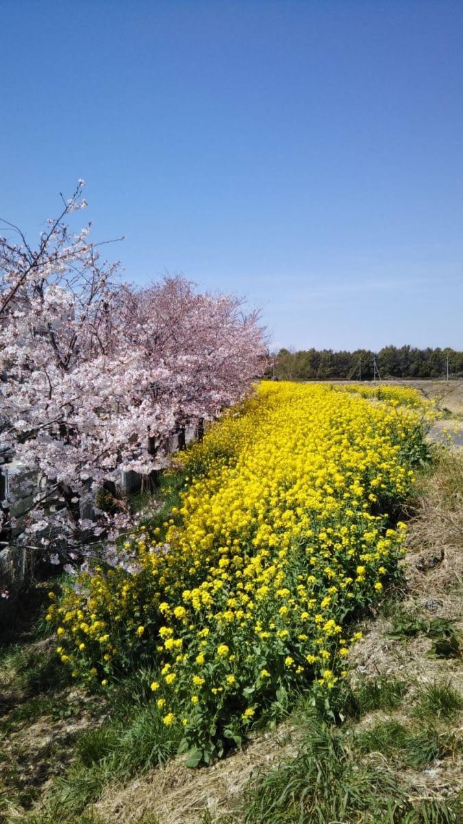 羽生田先生・桜祭りに行く